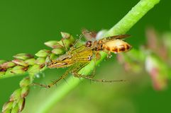 Lynx spider eating a bee in the park Stock Image
