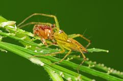 Lynx spider eating a brown legged spider Stock Photo