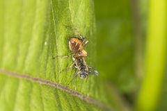 Lynx spider eating a fly at Belding Preserve in Connecticut. Stock Photography
