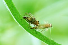Lynx spider eating a grasshopper Stock Images