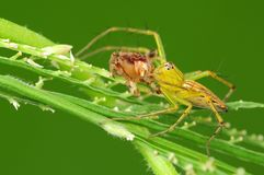 Lynx spider eating an insect Royalty Free Stock Image