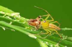 Lynx spider eating an insect Stock Image