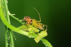 Lynx spider eating an insect in the park. S Stock Photo