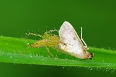 Lynx spider eating a moth Royalty Free Stock Image