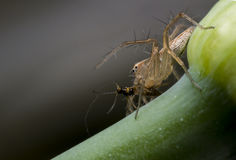 Lynx spider is eating some breakfast. Insect stock photos