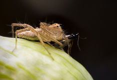 Lynx spider is eating some breakfast. Insect royalty free stock image