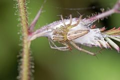 Lynx spider and egg mass Stock Photos