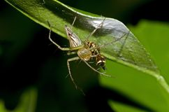 Lynx Spider. Feeding dinner meal Stock Images
