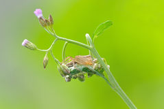 Lynx spider with flower. Lynx spider with eggs stay on leaf stock photos