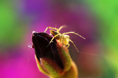 Lynx spider and (flower) bud Stock Image