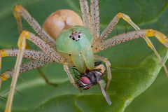 Lynx spider with fly. A female green lynx spider has her fangs in a fly Stock Photos