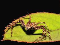LYNX SPIDER ON THE GREEN LEAF Stock Photo