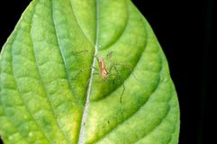 Lynx spider on the green leaf Stock Photography