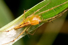 Lynx spider guarding its eggs Stock Photos