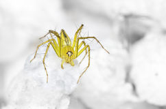 Lynx Spider on the highest swab Royalty Free Stock Photography