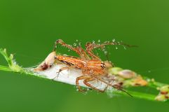 Lynx spider and his nest in the park Stock Photo