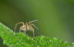Lynx spider hunting for insects. Lynx Spiders are common across most of the world. This one is of the genus Peucetia and is out hunting for insects in a crimson Royalty Free Stock Image