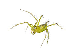 Lynx Spider Isolated (Oxyopes) Stock Photos