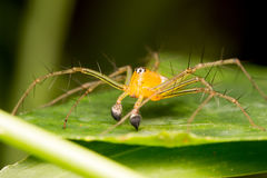 Lynx Spider on the leaf Royalty Free Stock Image