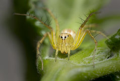 Lynx spider on leaf Royalty Free Stock Photography
