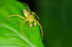 Lynx spider Stock Image
