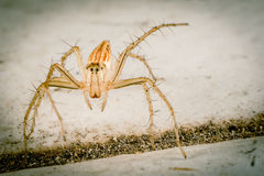 Lynx Spider Royalty Free Stock Photo