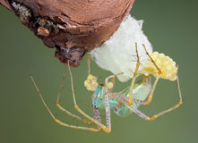 Lynx spider making egg case. A lynx spider is building an egg case Royalty Free Stock Photo