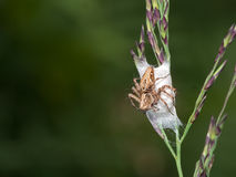 Lynx spider, with nest, eggs. Oxyopes. Royalty Free Stock Images