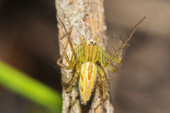 Lynx Spider with nest Macro view Royalty Free Stock Images