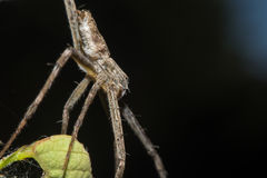 Lynx Spider with nest Macro view Royalty Free Stock Photo