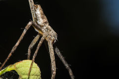 Lynx Spider with nest Macro view Stock Photography