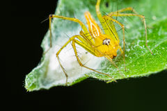 Lynx spider with Nest Stock Images