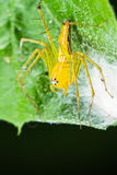 Lynx spider with Nest Stock Photo
