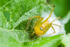Lynx spider with Nest Royalty Free Stock Photography