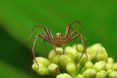 Lynx spider, Oxyopidae , Aarey Milk Colony. INDIA Stock Photo