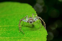 Lynx spider, Oxyopidae , Aarey Milk Colony , INDIA. Lynx spider is the common name for any member of the family Oxyopidae Stock Photos