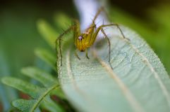 Lynx Spider in Oxyopidae family. Macro shot of a Lynx Spider in Oxyopidae family Royalty Free Stock Photos