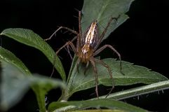 Lynx Spider in Oxyopidae family. Macro shot of Lynx Spider in Oxyopidae family Royalty Free Stock Image