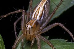Lynx Spider in Oxyopidae family. Stock Photos