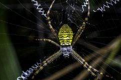 Lynx Spider in Oxyopidae family. Macro shot of Lynx Spider in Oxyopidae family Stock Image