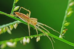 Lynx spider in the park Royalty Free Stock Image