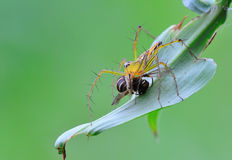 Lynx spider with prey. On green leaf stock photography