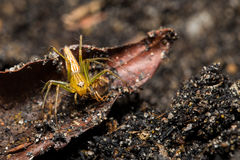 Lynx spider with prey Stock Photos