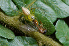 A lynx spider with prey - a winged ant Royalty Free Stock Photo