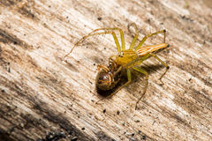 Lynx spider with prey. On wood background Stock Photos
