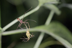 Lynx spider and rice bug Royalty Free Stock Photos