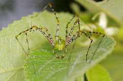 Lynx spider Stock Photos