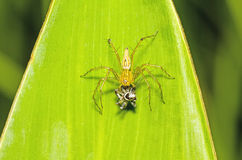 Lynx Spider, Yellow body and black legs eating black small jumpi Royalty Free Stock Image