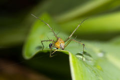 Lynx Spider. A yellow male lynx spider Stock Image