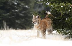 Lynx beside spruce Royalty Free Stock Images